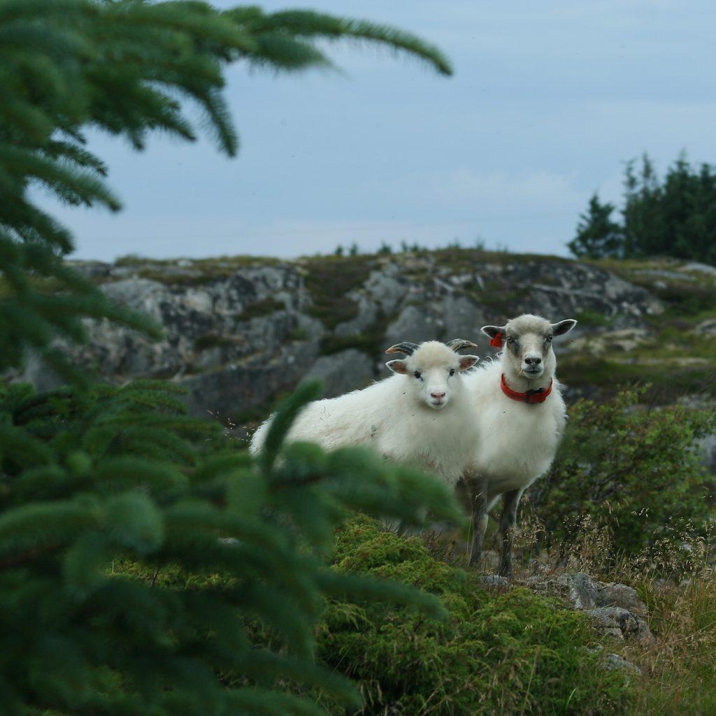 """Foto: © Eli Sunde Eidskrem, """"Villsau på Smøla"""""""